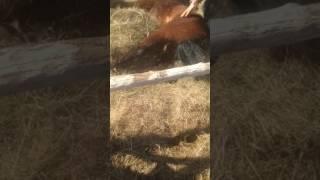 Лечение лошади при колике