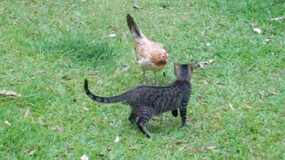 Chicken Fights Cat! - Hawaii Part 2 (Maui)