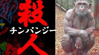 ブルーノ チンパンジー