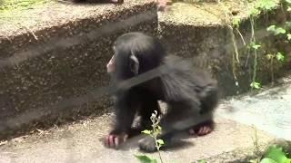 Download Video チンパンジー 双子の赤ちゃん129  Chimpanzee twin baby MP3 3GP MP4