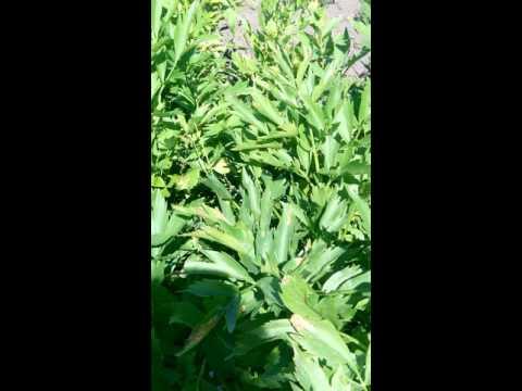 Многолетние травы на даче