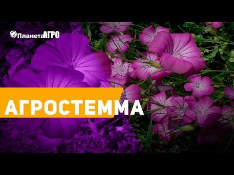 Семена цветов Агростемма