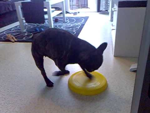 French Bulldog and frisbee :)
