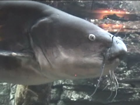 Big Pangasius Shark Catfish Aquarium Tank from YouTube · High Definition · Duration:  1 minutes 9 seconds  · 5,000+ views · uploaded on 6/12/2016 · uploaded by Animal Breeds