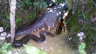 World's biggest snake Anaconda found and Killed in West Africa
