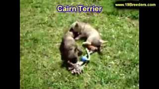 Cairn Terrier, Puppies, For, Sale, In, Portland, Maine, Me, Brunswick, Waterville, Westbrook, Saco