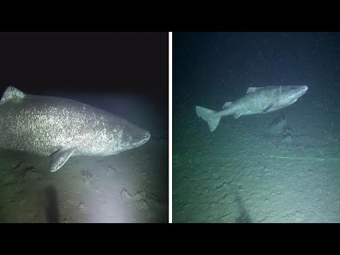Rare Footage Of Greenland Shark Alive For Over 500 Years Old