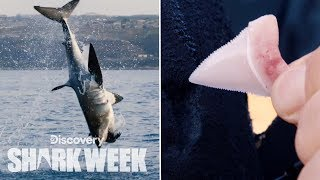 Shark Loses Tooth After Breach | Shark Week
