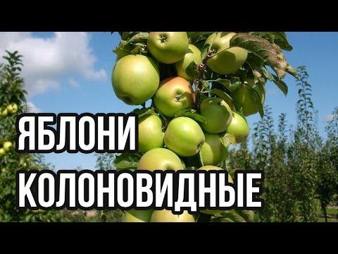 Яблони колоновидные посадка и уход