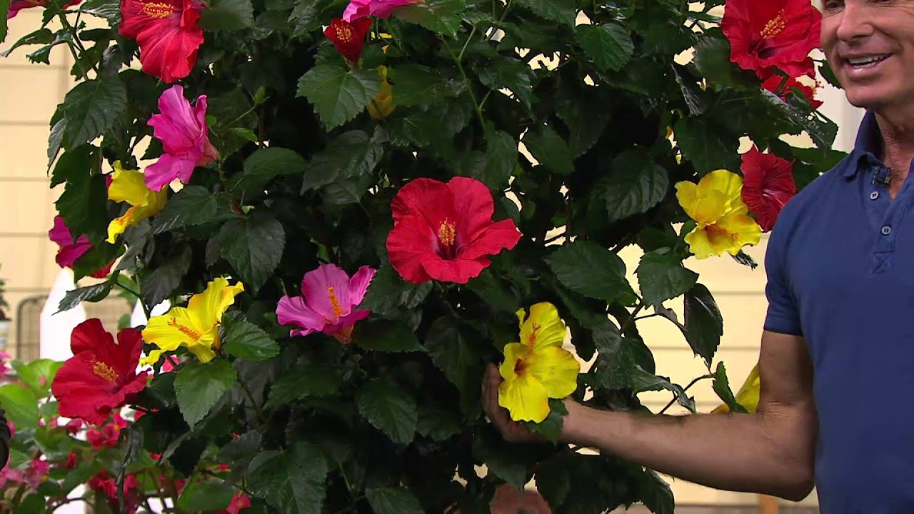 Cottage Farms 3 In 1 Braided Tropical Hibiscus Tree With Jill Bauer
