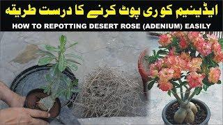 HOW TO REPOTTING DESERT ROSE (ADENIUM) EASILY