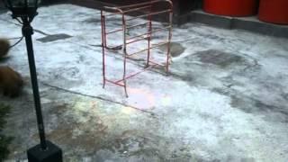 Exercise Pomeranian Chili Vs Chela