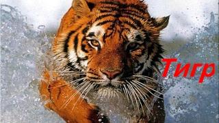 «BBC Документальный фильм В поисках тигров »
