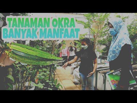 VIANEY, Budidaya Tanaman Okra Dan Kembangkan Kampung Adopsi Okra