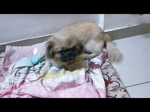 Pekingese angry 13 year old dog (oldest in INDIA)