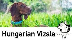 A Magyar Vizsla kutya fajta - DogCast TV S01E05