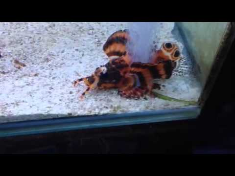 Paul Talbot Shows You The Fu Manchu Lionfish And Angler Fis