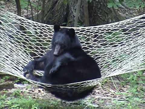 black bear relaxing on hammock black bear relaxing on hammock   youtube  rh   youtube