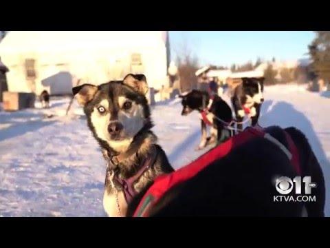 Dog Mushing in Bettles, Alaska (4K Video)