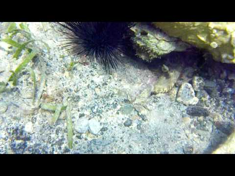 Caribbean Reef Octopus Hiding Under a Rock - Leinster Bay - St. John - USVI