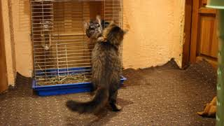 Little Funny Kitten Play with chinchilla. Pets game