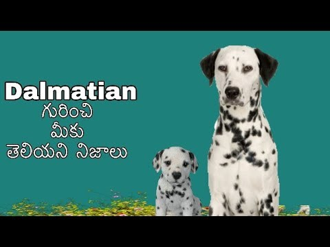 Dalmatian dog Facts in Telugu | popular breed || Taju logics
