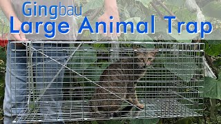How To Assemble Gingbau Large Animal Trap (GAT-L)