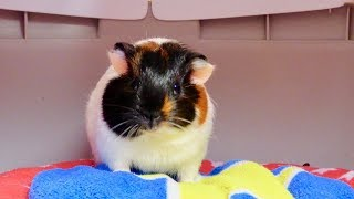 Vlog: Getting a New Baby Guinea Pig