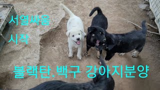블랙탄진돗개 강아지분양.서열싸움의시작^^Korean J…
