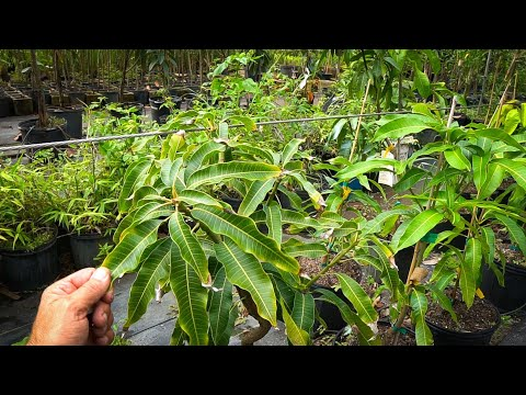 Buying Large Fruit Trees is a WASTE of Money// Here's Why…