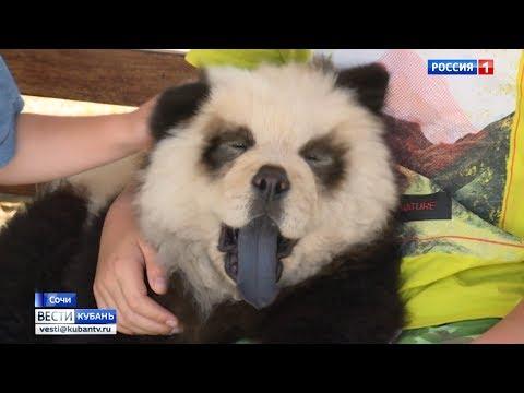 Сочинская панда оказалась не пандой