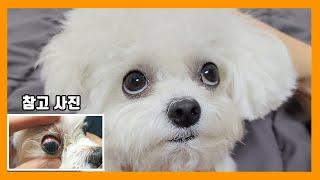 강아지 눈 체크방법&강아지눈물관리 꿀 팁!