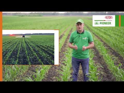 Эффективная защита кукурузы