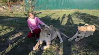 Лев Малыш отбил Лизу у Вити ! Как докармливают львов из специальных труб .