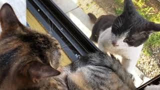 野良猫ちゃん、怒ってるっぽいけど声がかわいい。家のニャムちゃんは、...
