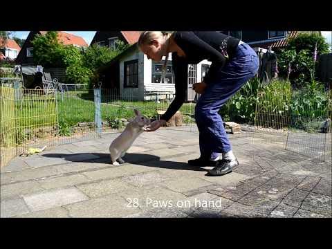 30 трюков, которым можно обучить кролика