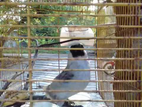 Kicauan burung kutilang yang handal mengalahkan burung yang lainnya