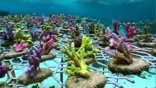 Coral Gardening in Fiji