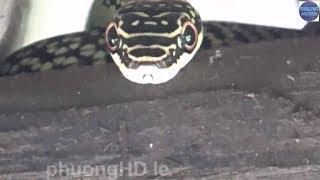Con Rắn lạ lên trên nóc nhà khi lũ về/snake