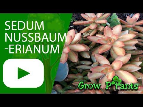Sedum nussbaumerianum - grow & care -  Coppertone Stonecrop