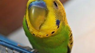 Говорящий волнистый попугай застрял в клетке