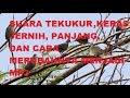 Suara Tekukur Jernih Keras Panjang Cocok Untuk Pikat  Mp3 - Mp4 Download