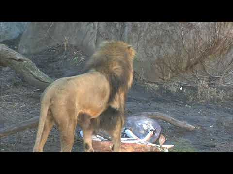 Lincoln Park Zoo lion celebrates birthday