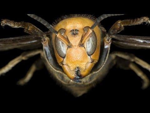 Katil Eşek Arıları   Türkçe Belgesel