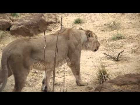 Replica of Gir Lion Sanctuary of Gujarat opens at London Zoo in England