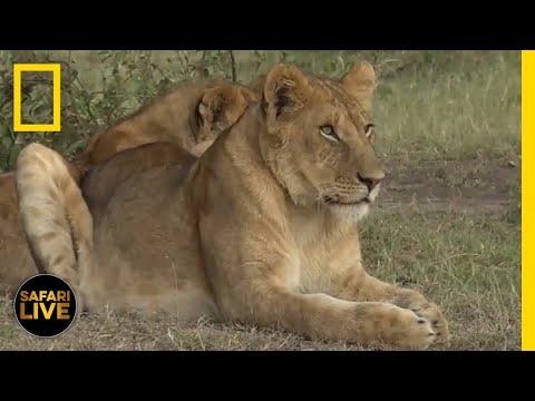 Safari Live - Day 333 | National Geographic