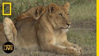 Safari Live - Day 333 | National Geographic
