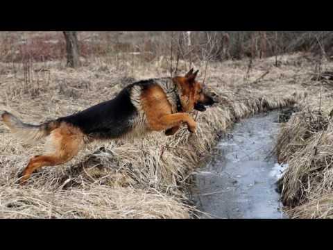 Служебные собаки на службе в армии.