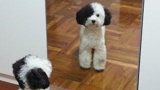 花貴賓 parti color poodle dog in hong kong プードル犬 花貴婦犬 狗 小乳牛色