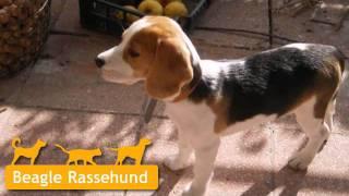 Beagle Welpen In Wendlingen